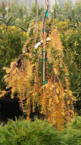 This prostrate-growing plant is a seedling selection from a larger, more open-growing tree called 'Varied Directions'. A very low, spreading larch that forms a carpet of copper foliage in the fall.
