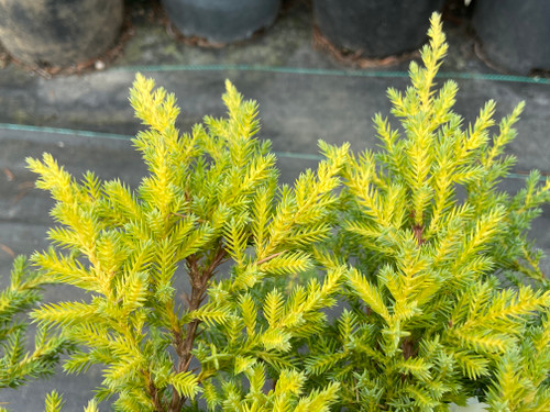 A low spreading juniper with bright yellow new growth.  The new growth beautifully shows on top of the blue-green interior foliage.
