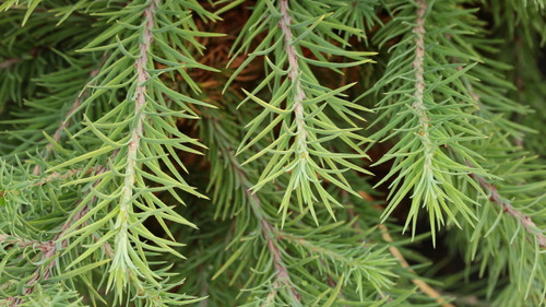Bluish, gray-green foliage on this globose dwarf larch have a soft texture. The needles become a beautiful copper-brown color in fall before losing them all in November/December.