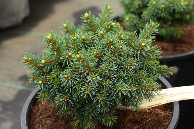A slow-growing, fairly flat spruce with very short, blue-green needles. The miniature growth and somewhat unique color make this a delightful selection for any small garden. Found as a witch's broom in Corunna, MI.