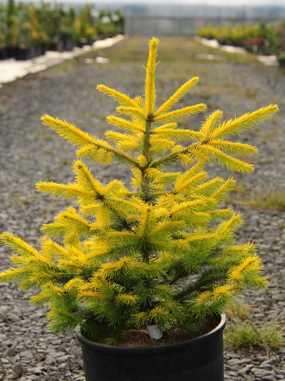 A bright yellow Norway Spruce found as a result of the intentional cross of 'Acrocona' and 'Gold Drift' by Bob Fincham. Fairly symmetrical growth and distinctive golden color set this one apart from the other selections