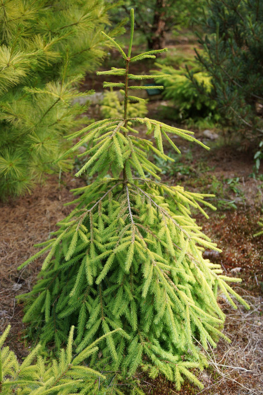 This golden spruce was developed as a result of the cross-pollination of Picea abies 'Acrocona' with Picea abies 'Gold Drift'. This particular seedling was never formally introduced.