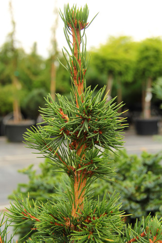 Picea abies 'Mikalusovice' _ Norway Spruce _