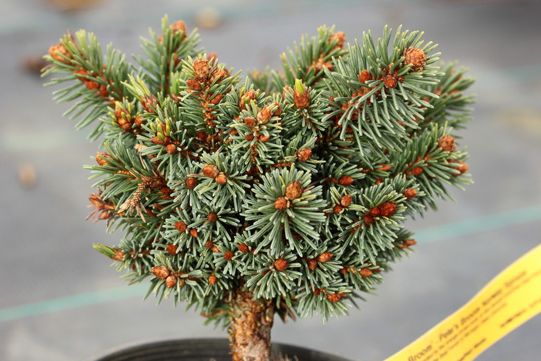 Rigid, vibrant green needles are accented by the orange-brown buds on this densely-branched dwarf form of Norway Spruce. The original broom was found in the Beal Forest of Michigan State University.