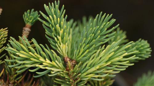 Picea abies 'Joshua'