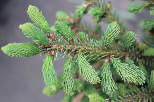 Short, thick, blue-green needles on this compact spruce are very densely-set on the tiny branches. Found as a witch's broom
