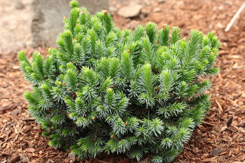 This compact spruce was found as a witch's broom on 'Berliner's Weeping'. It has the same foliage of dark-green with silver-blue undersides but a much slower growth rate. It's too soon to tell if it will also weep like it's parent, but a delightful cultivar nonetheless!