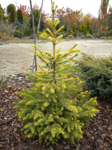 This bright-gold spruce has a very intense color that is a great improvement over the much more common and larger-growing 'Aurea'. It is a new selection from Poland.