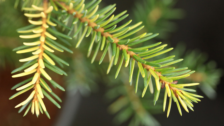 A compact, globose spruce with incredible two-tone foliage. Originally found as a witch's broom in the Czech Republic.