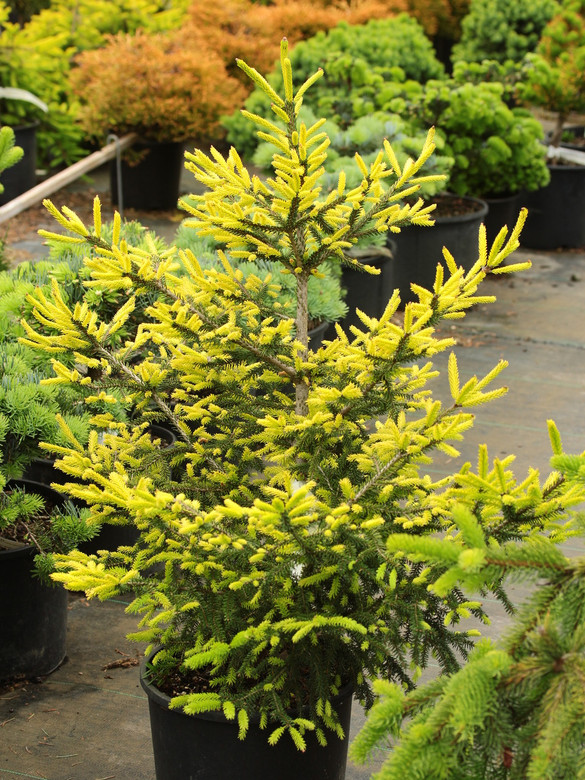 This fairly slow-growing, globose to pyramidal tree is a wonderful, more dwarf alternative to 'Aureospicata'. New growth emerges a fantastic golden-yellow in spring with yellow color persisting on needle tips throughout the summer.