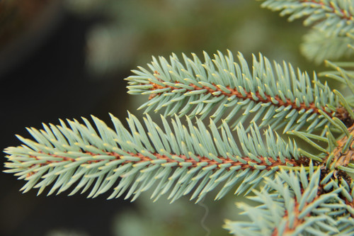 This spruce has distinctly bright blue needles in a nice pyramidal or Christmas tree like shape. It was selected as a seedling by Verl Holden Nurseries of Silverton, Oregon in 1972. It's also listed under its original spelling, 'Baby Blueeyes.'