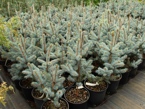 Picea pungens 'Fat Albert' _ Colorado Spruce _