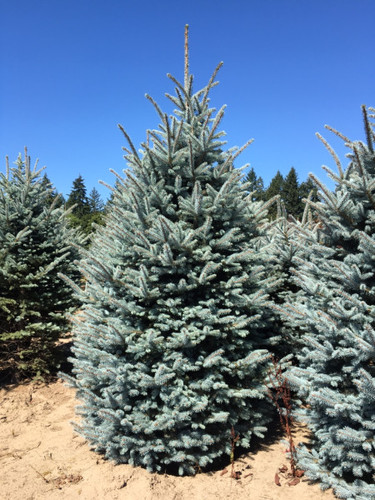 One of the brightest blue and densest Colorado spruce cultivars. Highly popular for its superior characteristics.