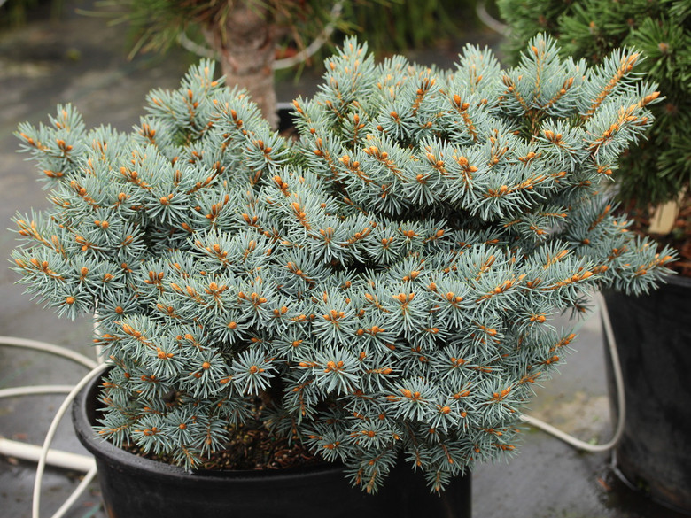 A miniature spruce with bright blue foliage found as a witch's broom by Jerry Morris in La Junta Canyon in Mora, NM.