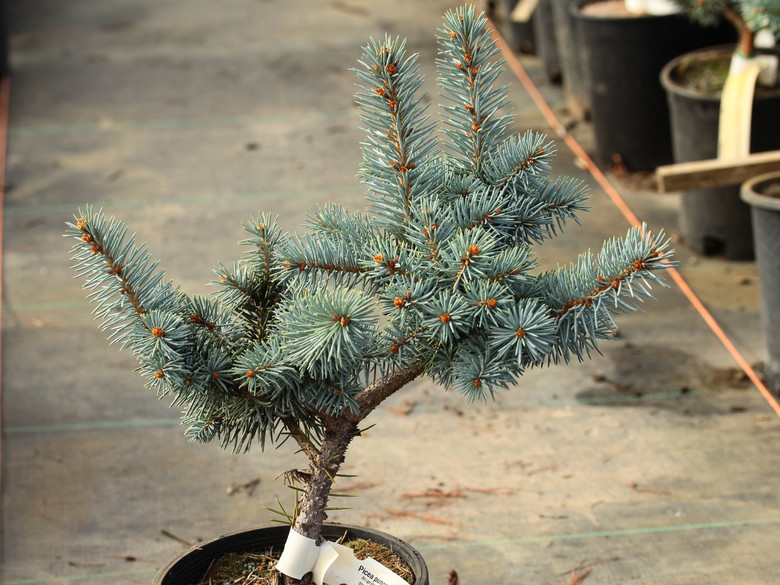 An upright, fairly slender pyramidal spruce with bright blue needle and a dense branching structure with branches that hang down slightly.