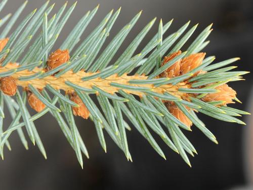 Picea pungens 'Vanderwolf Blue'