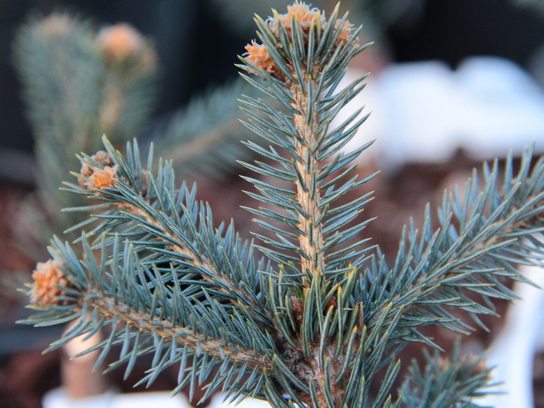 Shimmering blue needles on this dwarf spruce give it a bright appearance. Found by Jerry Morris.