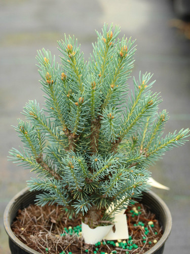 This compact spruce has a very unique appearance with very symmetrical branches ascending to form a teardrop shape. The dwarf growth habit is preserved by propagating from cuttings rather than grafting, making this blue spruce a very unique and uncommon selection.