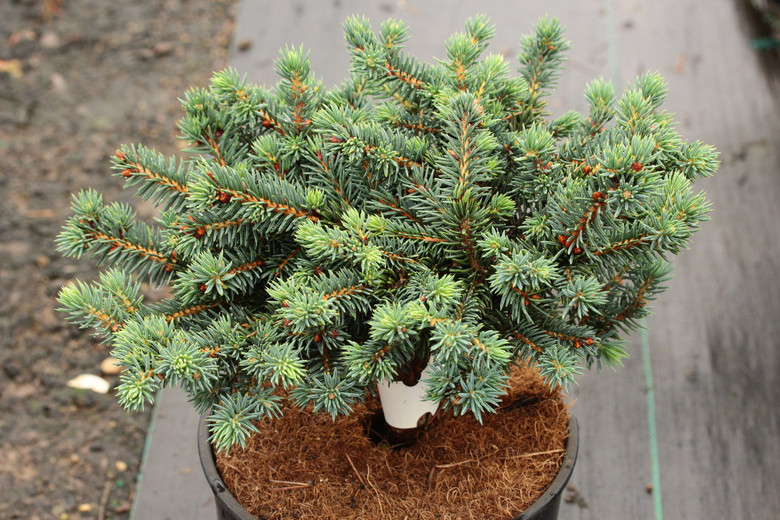 This low-growing spruce has blue-green foliage and a compact, mounding habit. If rooted from cuttings, it grows much more slowly; when grafted, it tends to be semi-upright and rather pyramidal