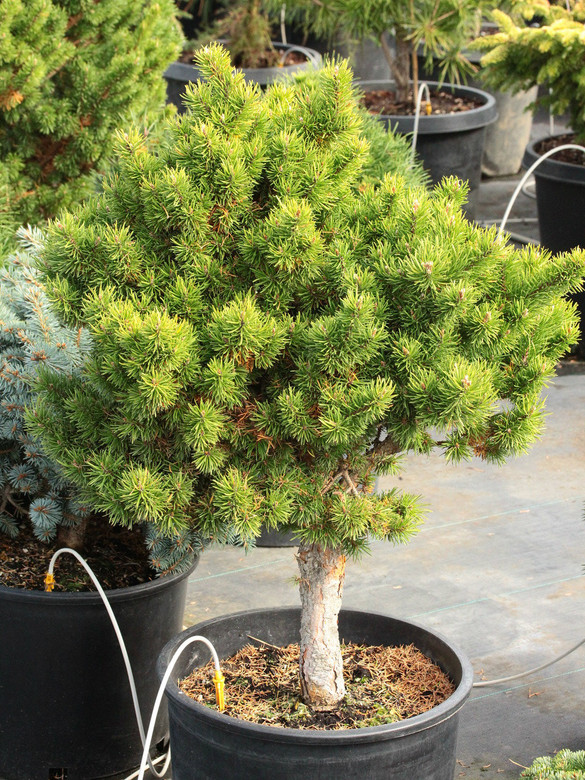 Short, light-green needles on this slow-growing, narrow pyramidal pine give the tree an attractive color, even in winter. An uncommon European selection.