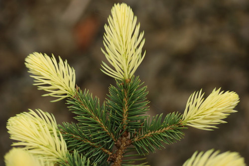 This new Polish variety has a beautiful pure-white color on the spring growth. Its color holds into mid-June, and its slow growth rate make it a nice dwarf spruce that really stands out, especially in spring.