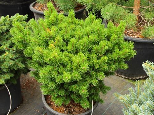 Pinus banksiana 'Gelblaulig' _ Jack Pine _
