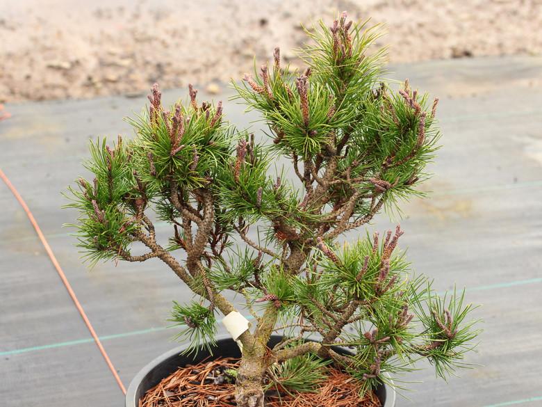 Pinus contorta 'Tiger'