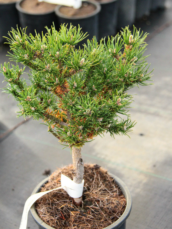 A slow-growing pine with light green needles and a compact form.