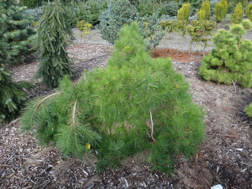 A fairly strict weeping pine with thin, light-green foliage and showy orange-red flaking bark.