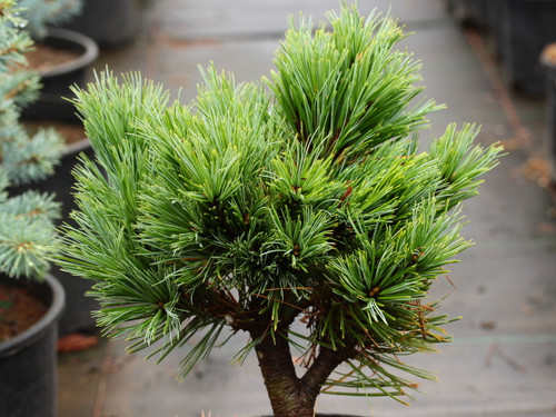 This slow-growing pine was found as a witch's broom on a 'Vanderwolf's Pyramid' at a nursery on the east coast. Appears to be a dwarf, semi-globose form with silver-blue foliage.