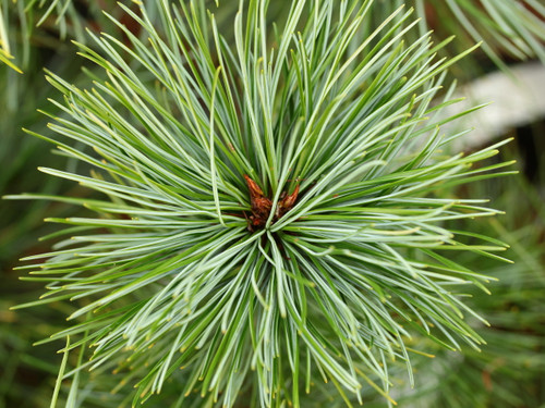 This rounded, dwarf Korean Pine has long blue-green needles.