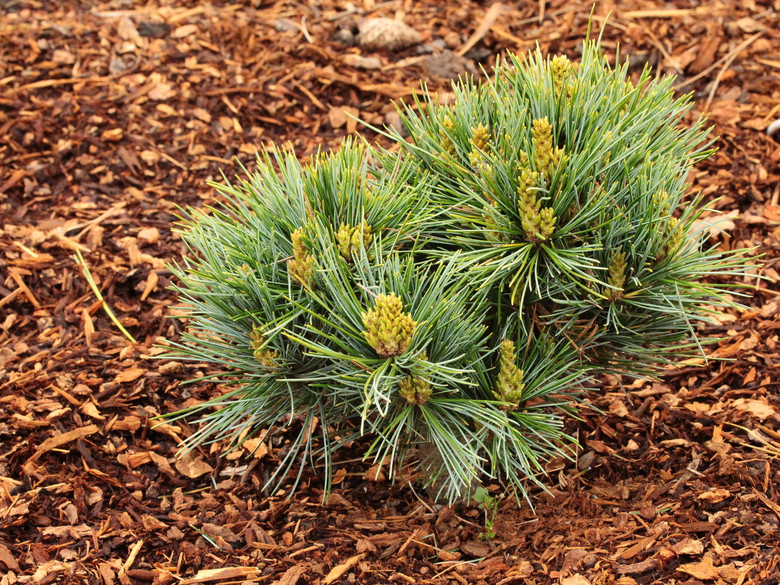 This beautiful dwarf pine was found as a witch's broom hidden inside a dense branch on a 'Silveray'. It has the same silver-blue needles but it grows much more slowly.