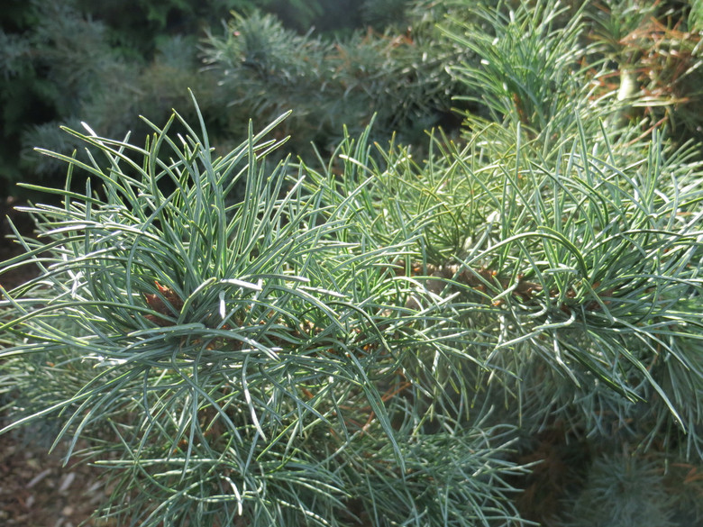 This irregular-growing pine has an open branching habit and thick, twisted deep blue-green foliage. A unique variety selected in Germany, sometimes found under the name 'Undulata'.