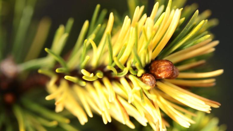 Pinus mugo 'Gerringong'