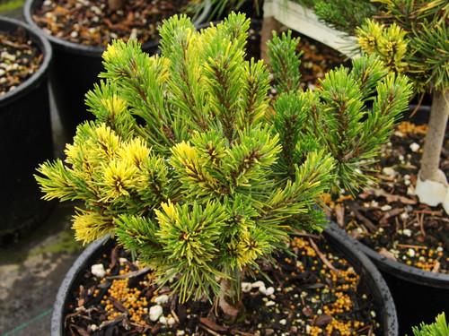 Pinus mugo 'Gerringong' _ Mugo Pine _
