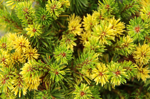 A fun, variegated variety of Mugo Pine. Rustic orange limbs display a whirl of short needles that are green, green and yellow, and yellow. An interesting conifer to behold!