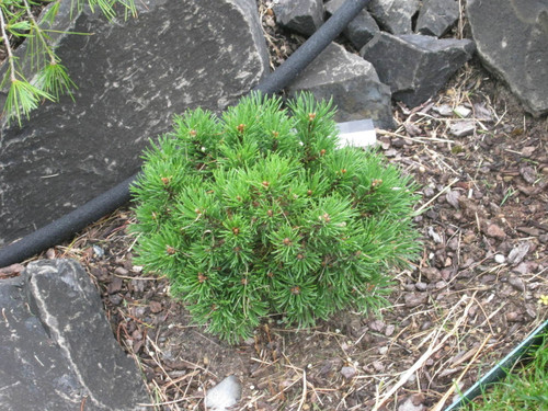 Bright green foliage on this mounding pine is set very densely. The compact, rounded growing habit makes this pine, originating as a witch's broom, a choice selection for any garden!