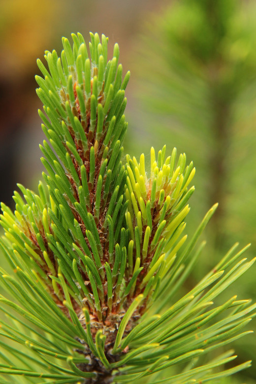 Yellow patches are present throughout the foliage of this low-growing, dwarf pine. The variegation contrasts nicely with the rest of the dark green foliage. Possibly the same as 'Mt. Hood Marble'.
