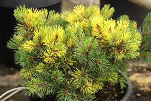 Branches of this slow-growing pine have rich, golden-yellow variegation splashed throughout and striped on some needles. A very unique appearance for this unique conifer from Poland.