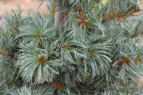 Pinus parviflora 'Blauer Engel' ('Blue Angel') _ Japanese White Pine _