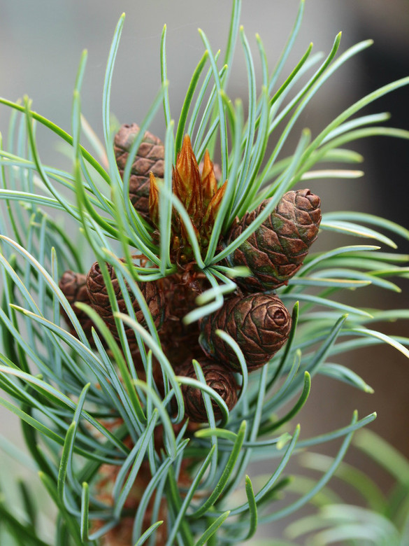 Long, bright blue needles have a slight twist on the urpight branches of this slow-growing pine. Many cones add to the color of this unique pine, which is not be confused with the similar but wider 'Bergman'.
