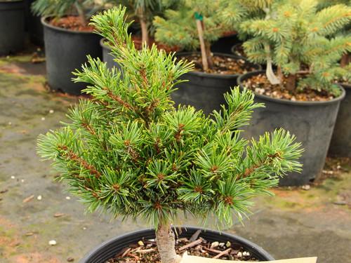 Pinus parviflora 'Lorraine' _ Japanese White Pine _