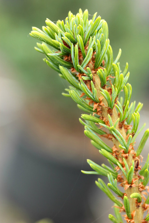 Incredibly short, twisted needles are blue-green and fairly thick. A nice miniature pine with unique color and texture!