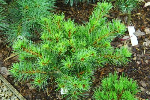 Pinus parviflora 'MHH-8'