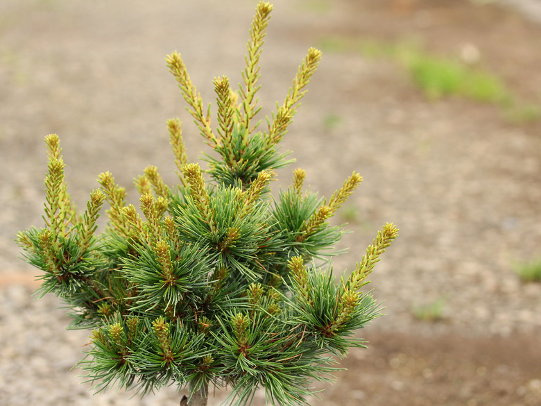 This very dwarf cultivar forms a cute little tight bun of blue-green needles. An evergreen conifier that originates from the UK.