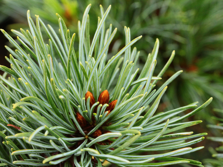 Short, blue-green needles on this dwarf pine give it a natural bonsai appearance. An uncommon selection from Japan.