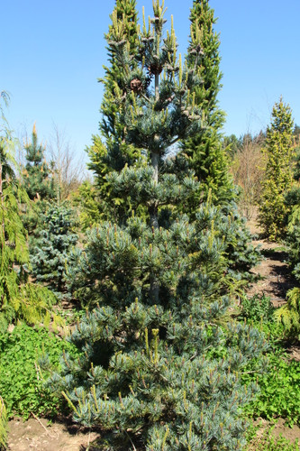 This tree is a slender, pyramidal pine with brilliant blue foliage and profuse cone production at an early age. These colorful clusters are pink and purple, making a terrific color contrast with the silvery foliage.