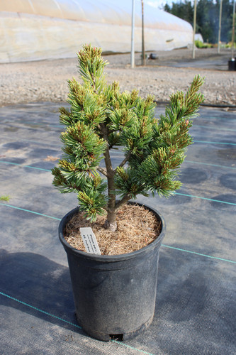 A dwarf variety of Pinus parviflora with blue-green needles.