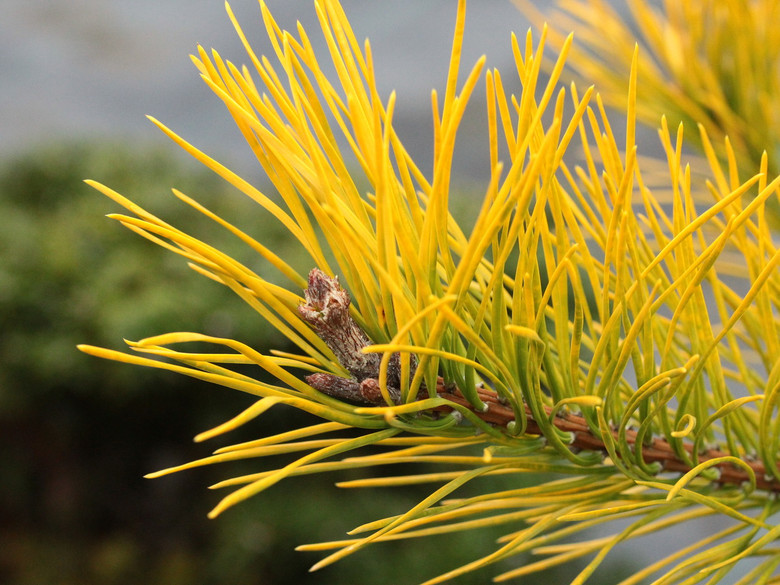 One of four new selections of Table Mountain Pine with beautiful butter-yellow foliage. (#4)
