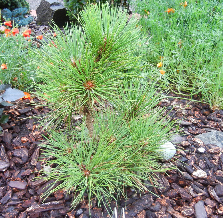 An incredibly dwarf Ponderosa pine! Found as a witch's broom with long needles but short growth by Jerry Morris.